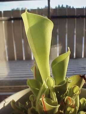Heliamphora_minor